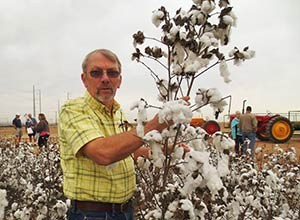 harvesting cotton by hand